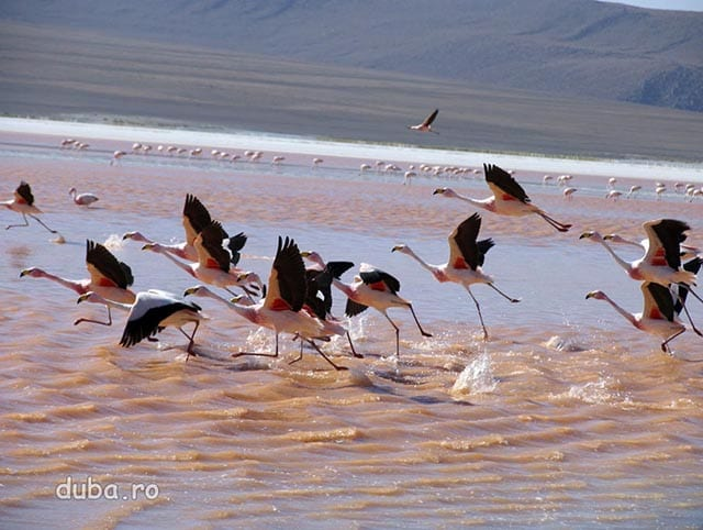 flamingo pe Laguna Colorada