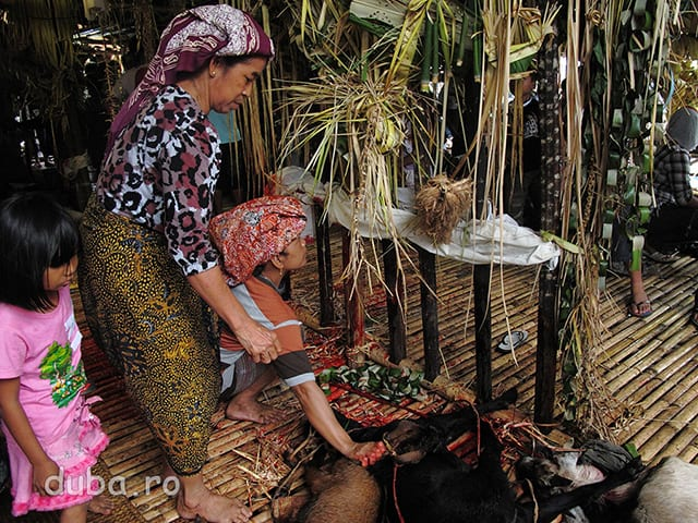 Corpurile caprelor proaspat sacrificate sunt asezate la baza unui Sanggar / Tiang babuah care este frecat cu sangele lor. Membrii familiilor care au sacrificat capre le ofera ca rasplata stramosilor si zeilor carora le multumesc pentru bunastarea primita si-i roaga sa-i fereasca de probleme. La incheierea ceremoniei caprele au devenit tocana si frigarui pentru noi, pamantenii.