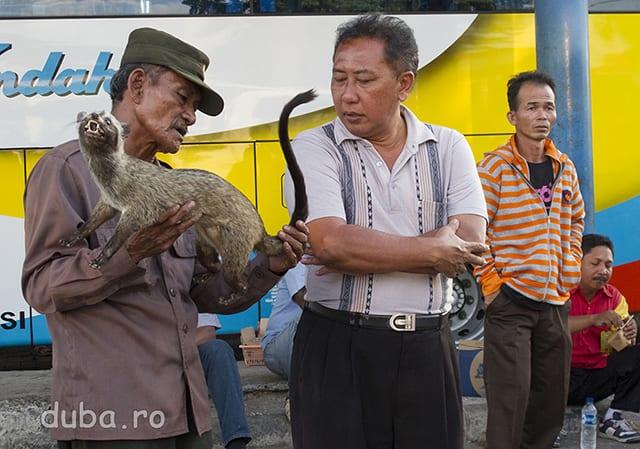 """""""Care-i ultimul pret?"""" In autogara din Surabaya, printre mancaruri si maruntisuri, domnu' vindea un musang impaiat pe post de oleh-oleh (suvenir). In Indonezia e un obiecei - imposibil de ocolit - de a duce suveniruri tuturor vecinilor, membrilor familiei si prietenilor. Musang e animalul care caca (la propriu) boabele de kopi luwak (cafea luwak)."""