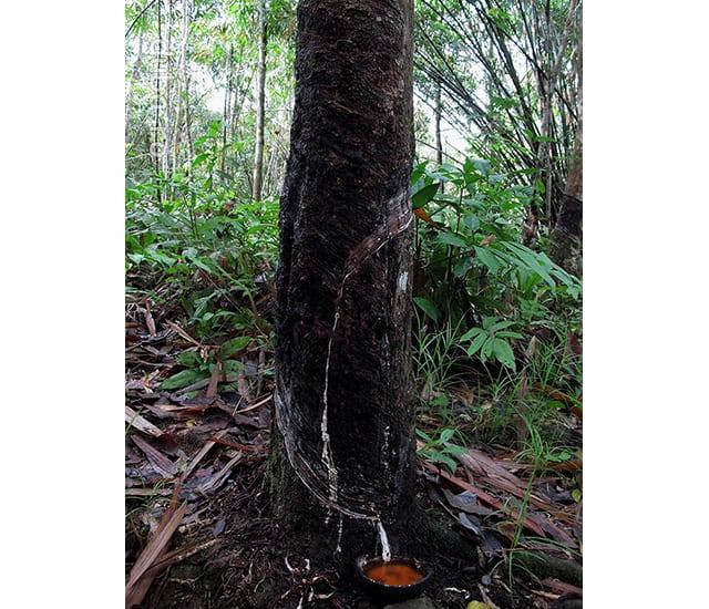 La poalele Muntilor Meratus, in drum spre catunele din bazinul Raului Alai trecem prin plantatii de arbori de cauciuc. Impreuna cu plantatiile de palmier de ulei, arborii de cauciuc strang tot mai puternic cercul in jurul peticelor de padure virgina ce au mai ramas in Kalimantan.