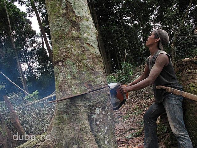 Din banii facuti lucrand ca zilier la exploatarile de diamante din Sudul Kalimantanului, unul dintre satenii din Juhu si-a cumparat o drujba pe care o da cu imprumutul la cine are nevoie in sat. Sensibili la promisiunile de a scoate bani din cauciuc, unii sateni au inceput sa-si pregateasca terenul pentru plantatiile de arbori de cauciuc.