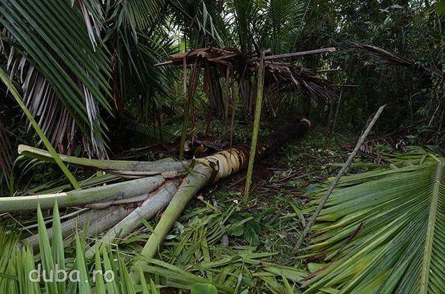 Sago – palmierul care asigura mancarea si adapostul pentru mii de comunitati din Maluku si Papua. Din trunchiul lui se face faina pe care oamenii din satele izolate de acolo o mananca si de 3 ori pe zi. Casele lor au peretii din cotoarele de frunzelor de sago si acoperisul din frunze de sago.