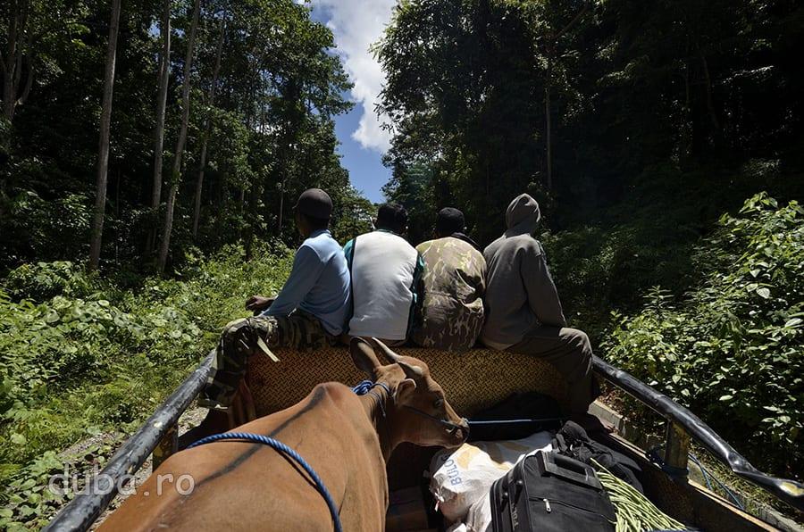 In camionul care m-a luat la hich-hike, pe drumul dintre Rumah Sokat si intersectia spre Huaulu. Pe soseaua de pe coasta nordica a Seramului, autobuzul public trece doar de 3-5 ori pe saptamana, la ore si in zile imprevizibile. Localnicii se bazeaza pe camioanele relativ frecvente pentru a calatori, fiecare cu ce are. Colegii mei de drum duceau o vaca.
