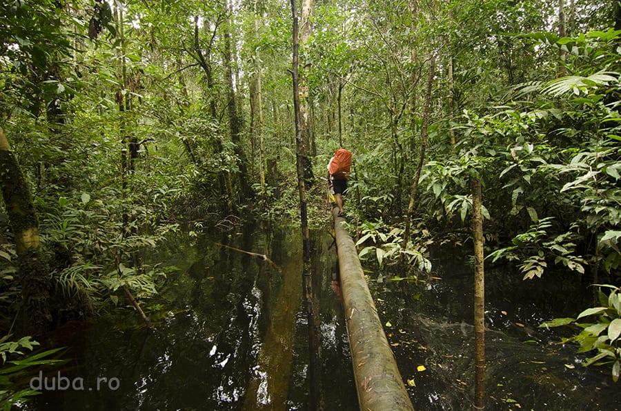 Pădurea dintre Basman și Yaniruma e ca un burete, îmbibat cu apă. Fiindcă apa curge foarte lent, frunzele se depun și descompun, și-i dau o culoare maro-roșiatică, maro-negricioasă, sau neagră-verzuie. Arata frumos, dar pe noi ne-a ținut mereu în stres, că trebuia să traversăm, cu rucsacul plin și cu aparatul foto la gât, peste bușteni lunecoși. În prima zi, Iuliu a reușit să cadă cu toate în apă până la gât. Noroc că, la momentul acela, avea aparatul foto în husă.